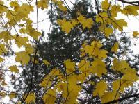 осень вечнозелёная