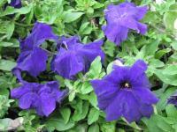 петуния - фиолетовые синие цветы