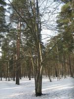 Витое дерево
