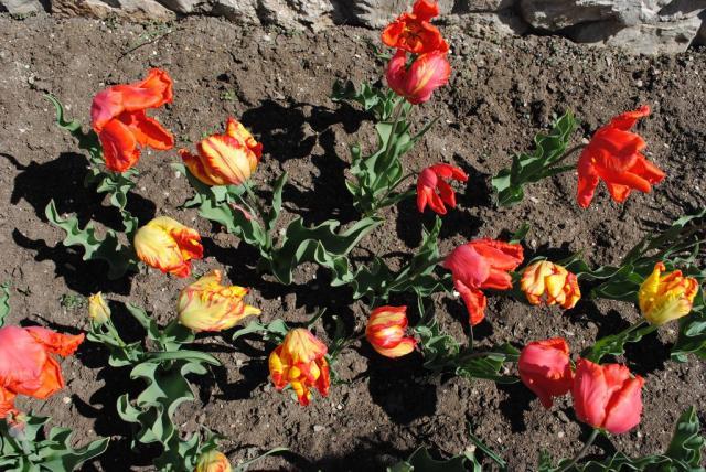 Севастополь. Апрель2010. Тюльпаны