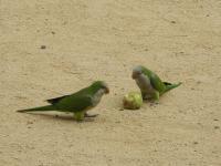 Барселонские зеленые попугаи