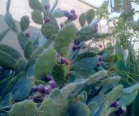 кактусёнки