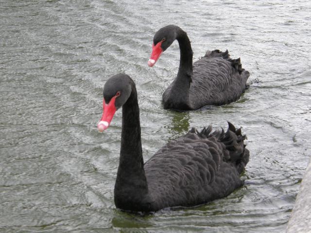 Португалия, Лиссабон. Черные лебеди.