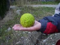 Маклюра? Адамово яблоко? Или все-таки мозг зеленого человечка?!?!