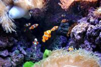 Рыбки в анемонах
