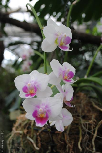 Бело-розовая орхидея