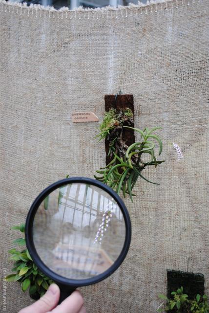 Малюсенькие-малюсенькие орхидейки