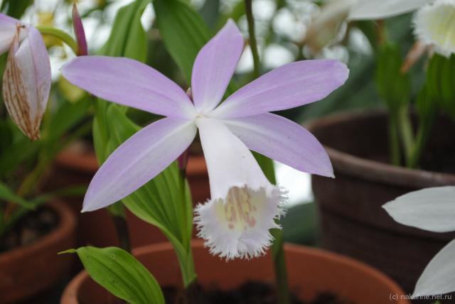 Длинноносая орхидея