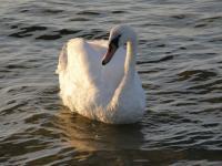 о. Рюген. Лебедь