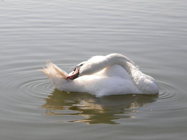 о. Рюген. Бинц. Лебедь
