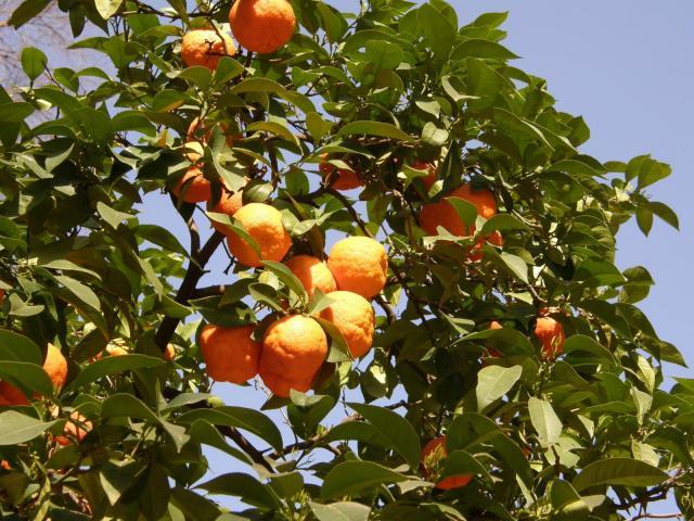 Испания, Севилья. Апельсины.